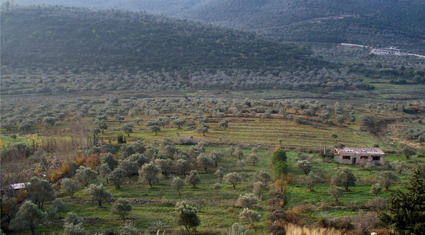 Olivenbaeume im Gouvernement Homs (https://de.wikipedia.org/wiki/Datei:Olive_groves_in_Syria.jpg)
